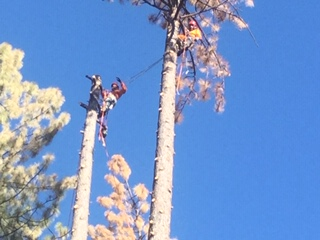 Bark Beetle Pine Tree Removal
